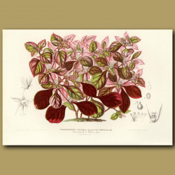 Variously-coloured-leaved Teleianthera