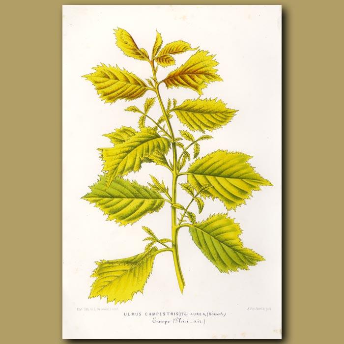 Antique print. Elm Tree foliage