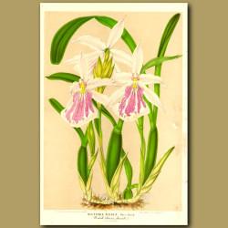 Miltonia Rosea Orchid