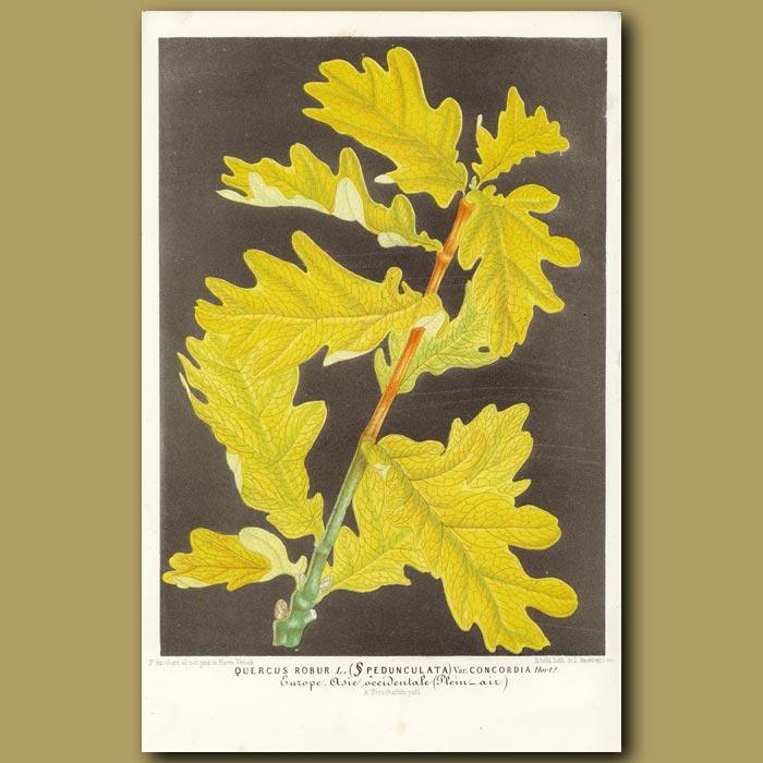 Antique print. Oak Tree foliage