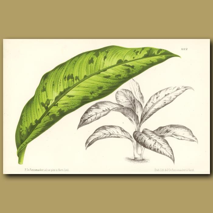 Antique print. Dieffenbachia latimaculata