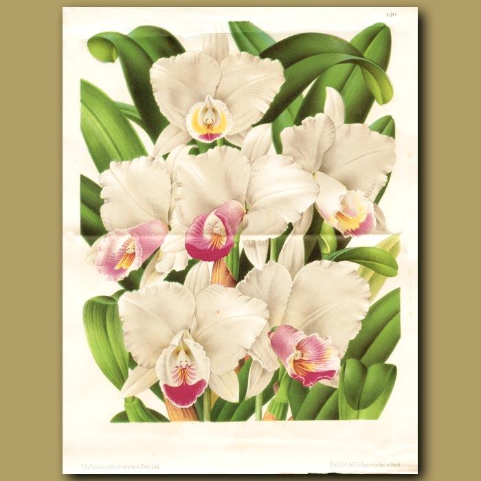 Antique print. Cattleya chocoensis