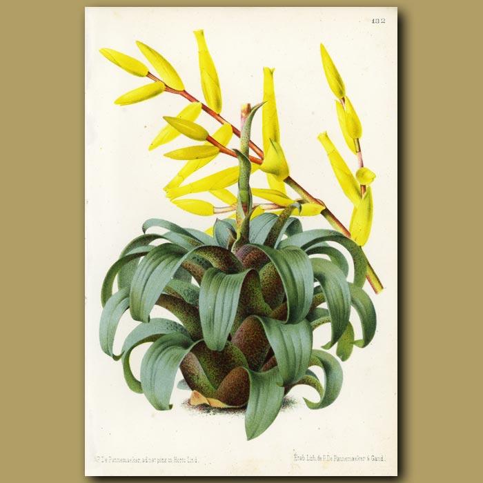 Antique print. Bromeliad