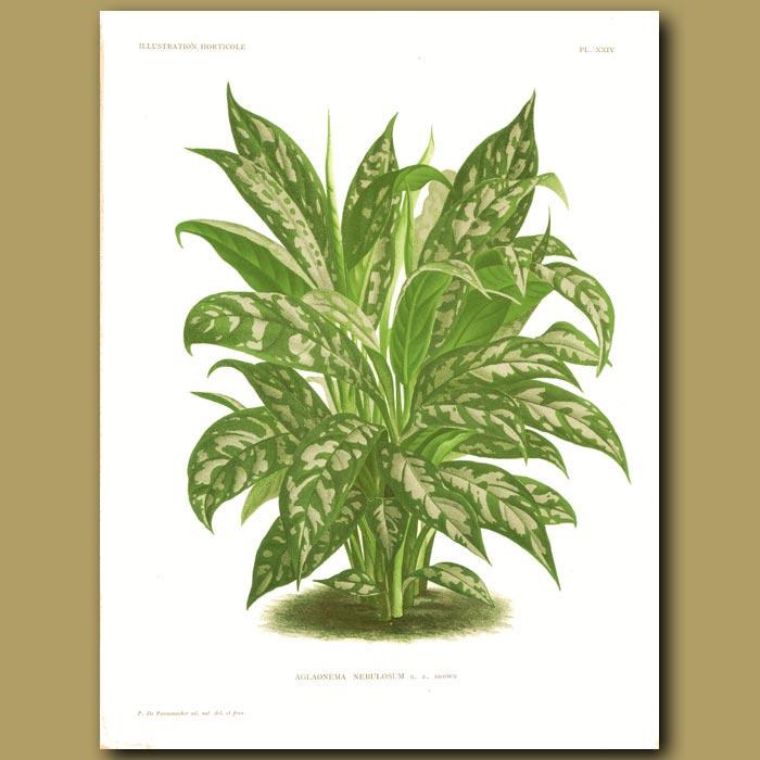 Antique print. Tropical plant. Aglaonema Pictum