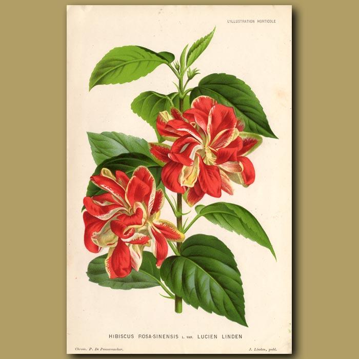 Antique print. Hibiscus Rosa-Sinensis