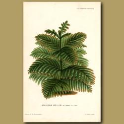 New Caledonian Pine Tree. Araucaria Mulleri