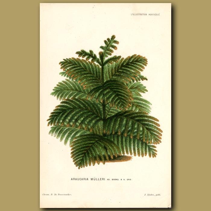 Antique print. New Caledonian Pine Tree. Araucaria Mulleri