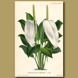 Peace Lily. Spathiphyllum Hybridum
