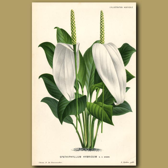 Antique print. Peace Lily. Spathiphyllum Hybridum