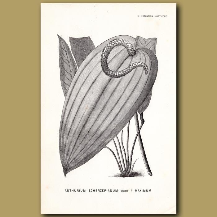 Antique print. Anthurium Scherzerianum.