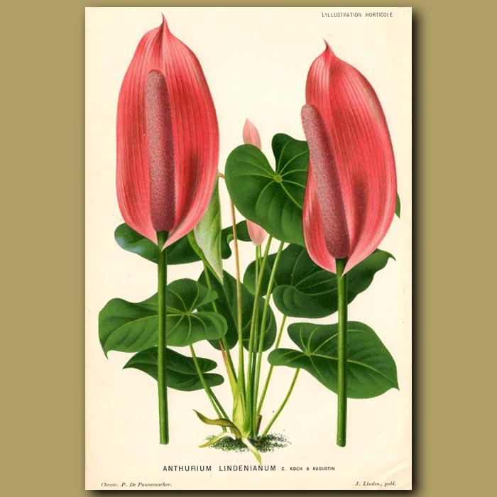 Antique print. Anthurium Lindenianum
