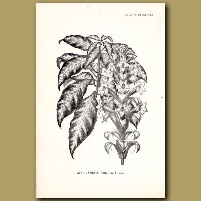 Antique print. Aphelandra