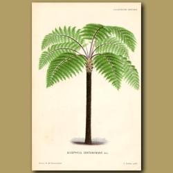 Mountain Tree Fern. Alsophila Contaminans