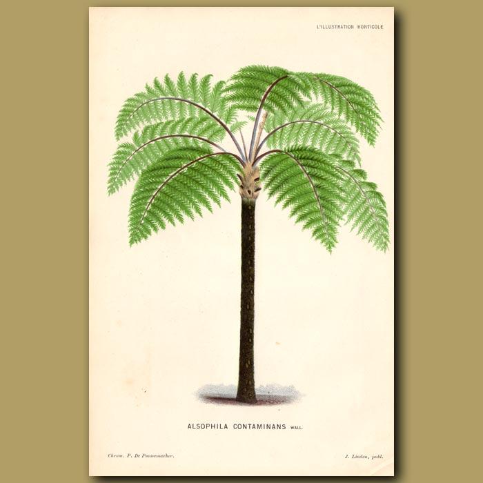 Antique print. Mountain Tree Fern. Alsophila Contaminans