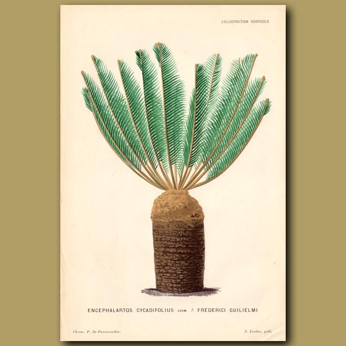 Antique print. Cycad. Encephalartos Cycadifolius