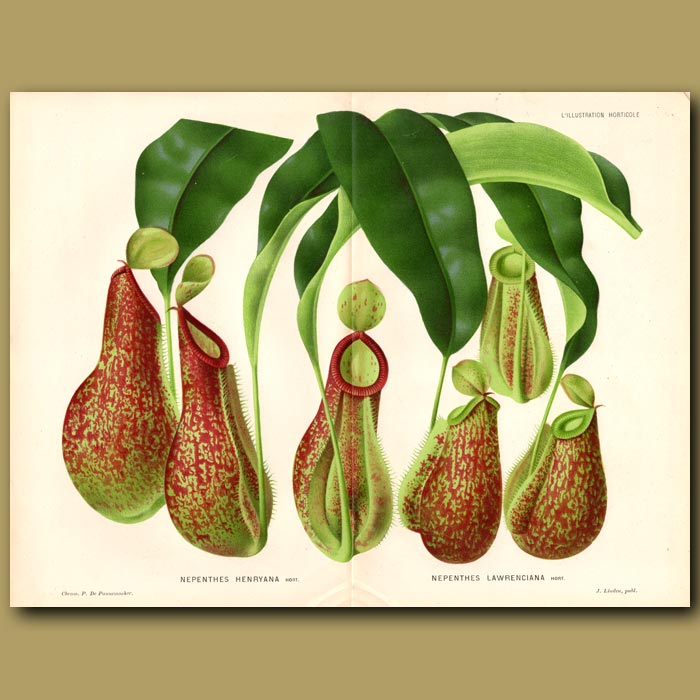 Antique print. Nepenthes Henryana And Nepenthes Lawrenciana