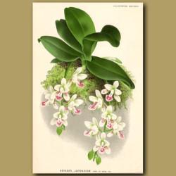 Japan Orchid. Aerides Japonicum. Very Fragrant