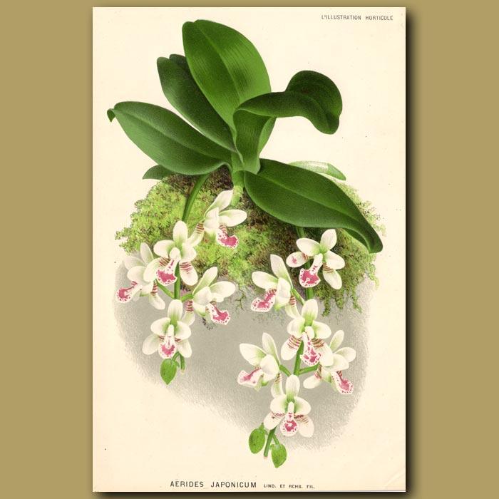Antique print. Japan Orchid. Aerides Japonicum. Very Fragrant