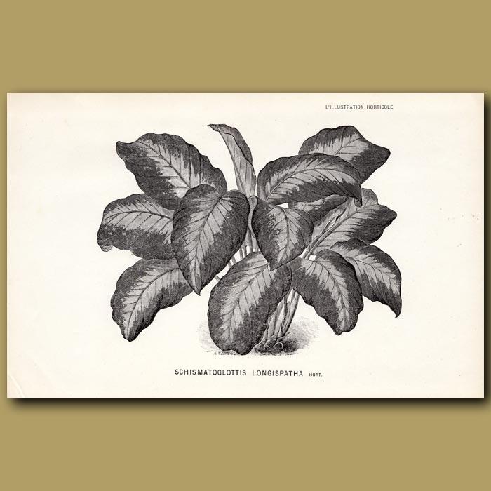 Antique print. Schismatoglottis