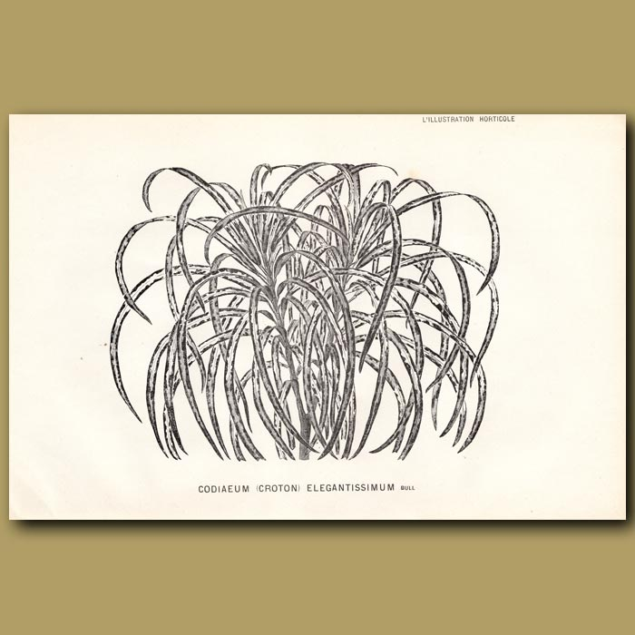 Antique print. Croton