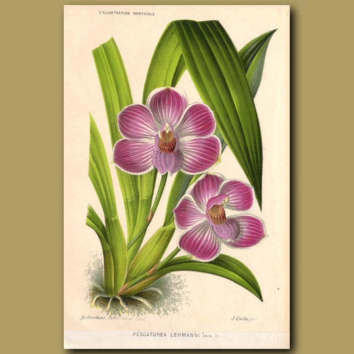 Antique print. Orchid. Pescatorea Lehmanii