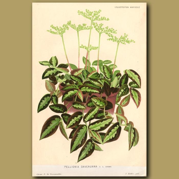 Antique print. Watermelon Begonia. Pellonia Daveuana