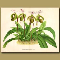 Orchid. Cypripedium Spicerianum