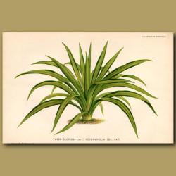 Yucca Gloriosa. Recurvifolia var.