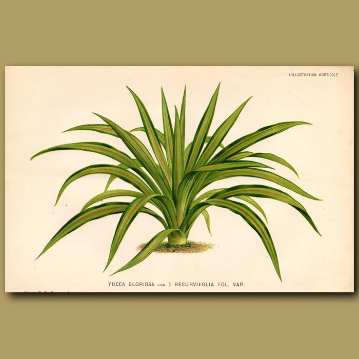 Antique print. Yucca Gloriosa. Recurvifolia var.