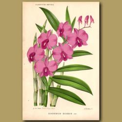 The Cooktown Orchid. Dendrobium Bigibbum