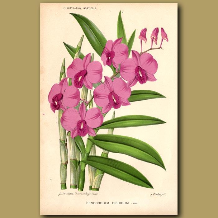 Antique print. The Cooktown Orchid. Dendrobium Bigibbum