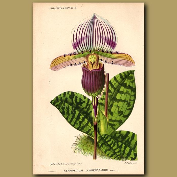 Antique print. Orchid. Cypripedium Lawrenceanum.