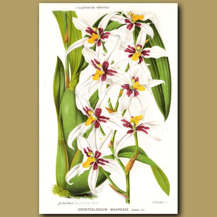 Antique print. Orchid. Odontoglossum Madrense