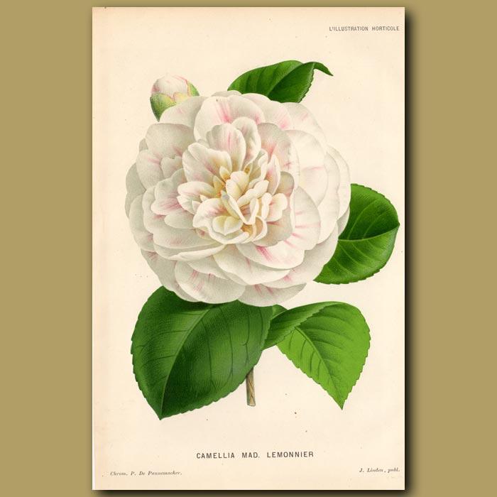 Antique print. Camellia Mad. Lemonnier