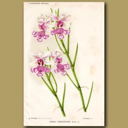Orchid. Vanda Hookeriana