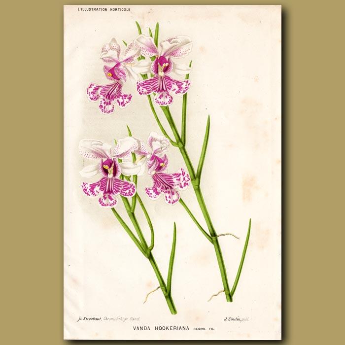 Antique print. Orchid. Vanda Hookeriana