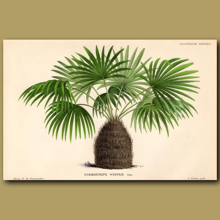 Antique print. The Needle Palm Tree. Chamaerops Hystrix
