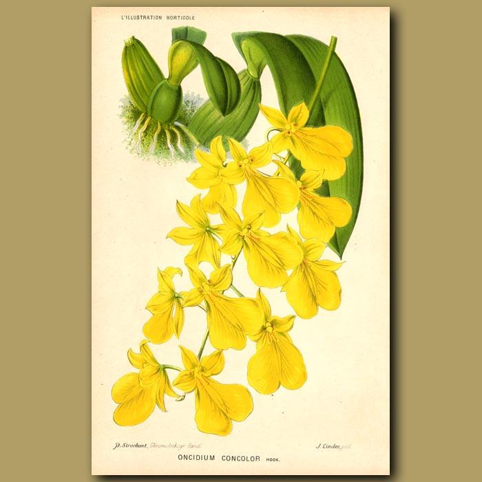 Antique print. Orchid. Oncidium Concolor