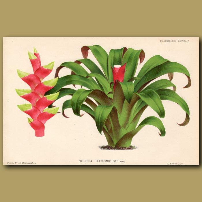 Antique print. Bromeliad. Vriesa Heliconioides