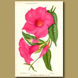 Tropical Flower. Dipladenia Profusa