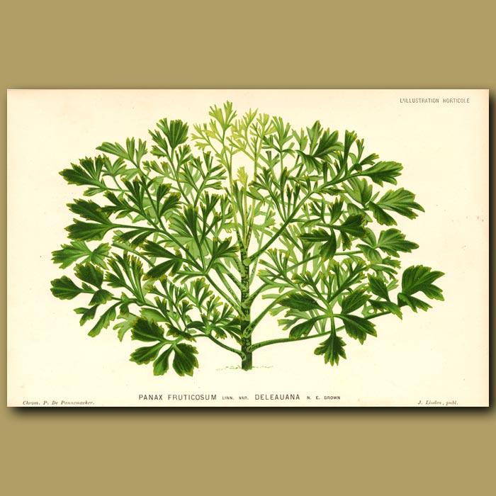 Antique print. Panax Fruticosum