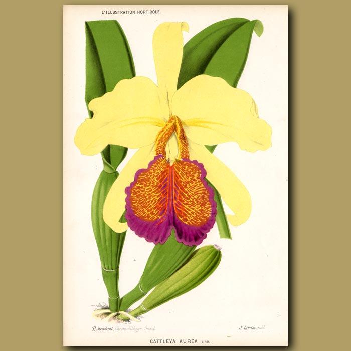 Antique print. Golden Orchid. Cattleya Aurea