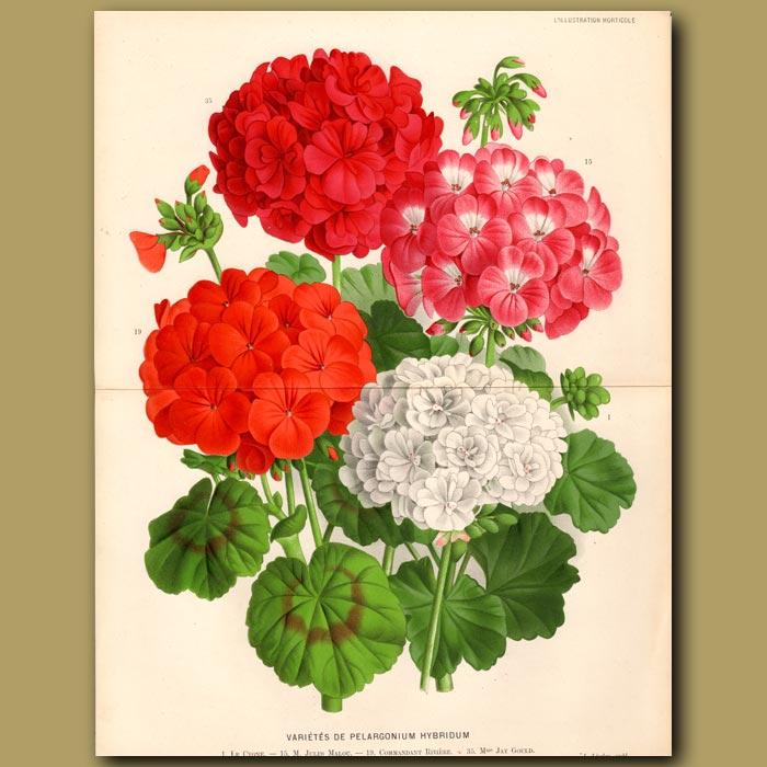 Antique print. Pelargonium Hybridum
