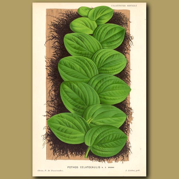 Antique print. Pothos Celatocaulis