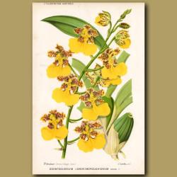 Orchid. Odontoglossum Londesboroughianum