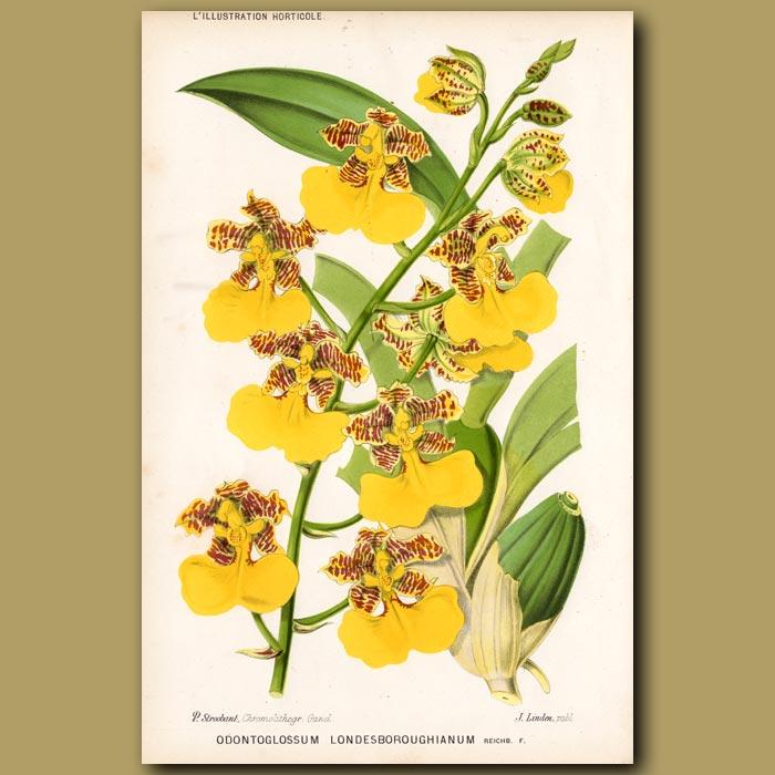 Antique print. Orchid. Odontoglossum Londesboroughianum