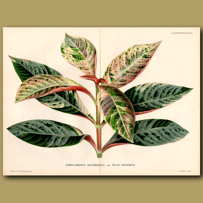 Antique print. Tropical Foliage Plant. Campylobotrys Ghiesbreghti