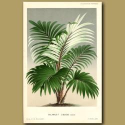 Rattan Palm Tree. Calamus Lindeni