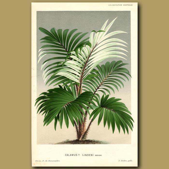 Antique print. Rattan Palm Tree. Calamus Lindeni