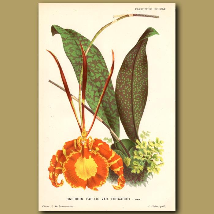 Antique print. Splendid Butterfly Orchid. Oncidium Papilo Var. Echkardti